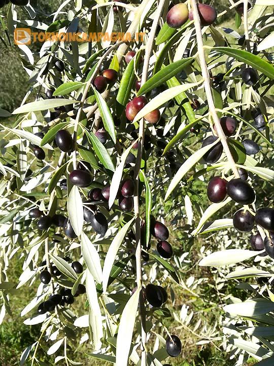 Una bella fronda carica di olive. Promessa di un buon olio.