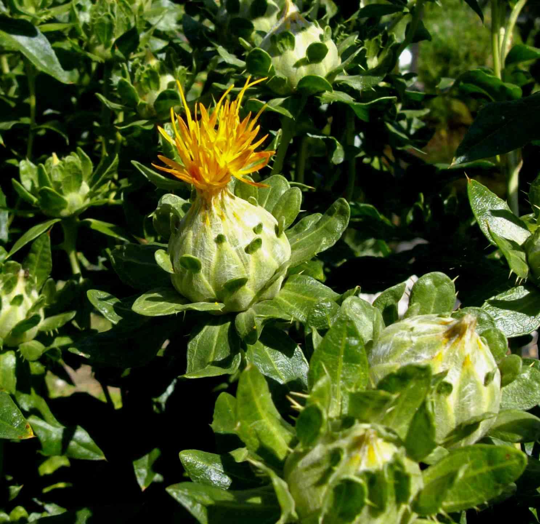 Il fiore dello Zafferano lombardo.