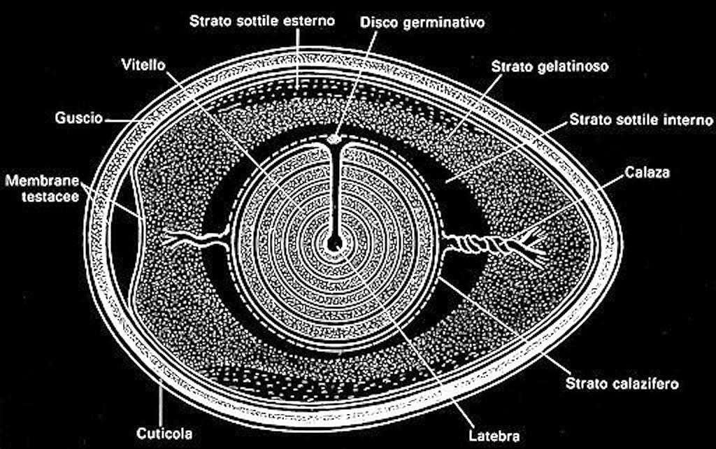 Sezione schematica dell'uovo.