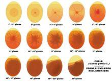 sviluppo embrione