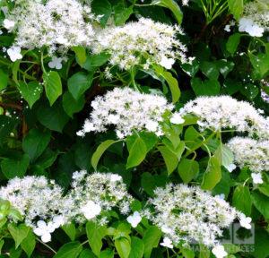 Fiori di hydrangea petiolaris.