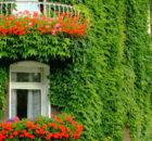 piante-rampicanti