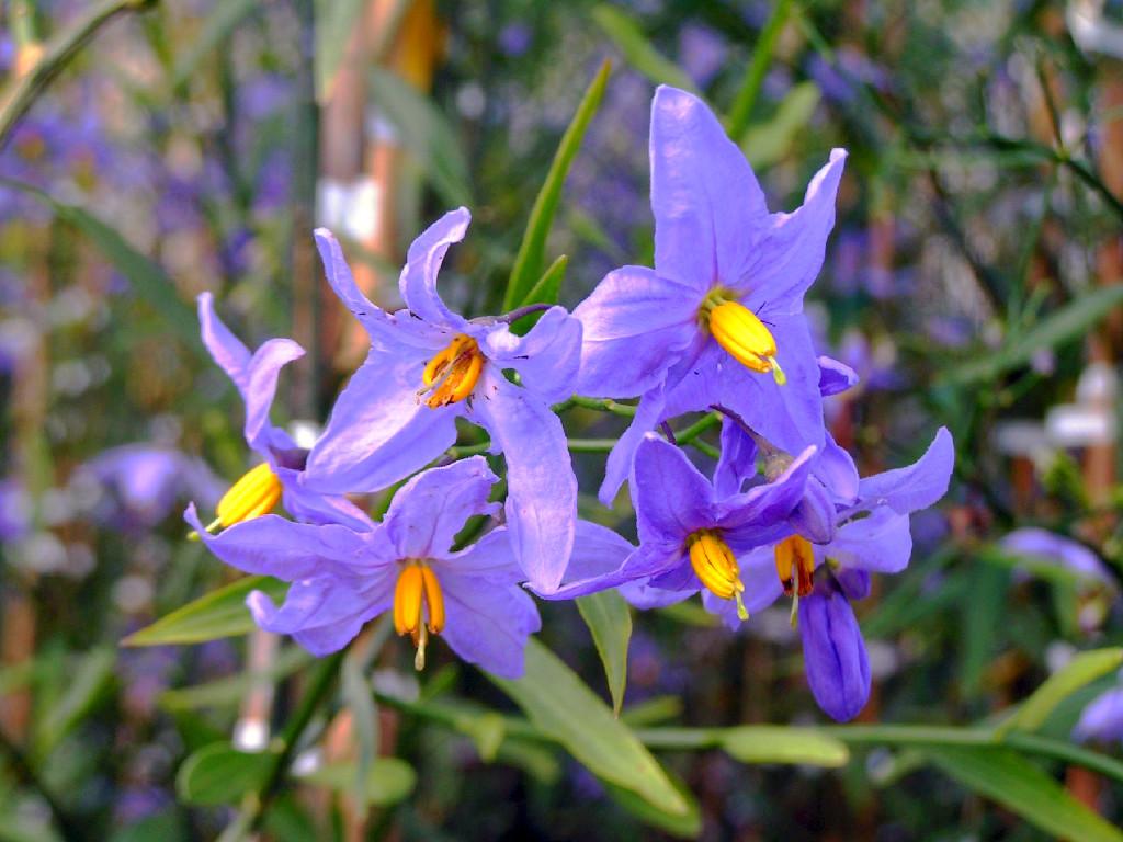 Fiori di Solanum Amygdaloides.