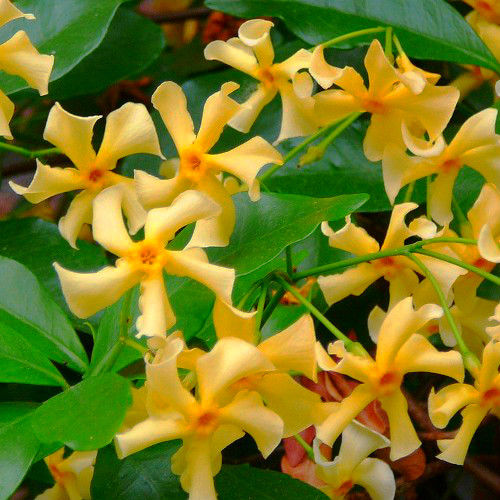 Fiori di Tracheolospermum Asiaticum.