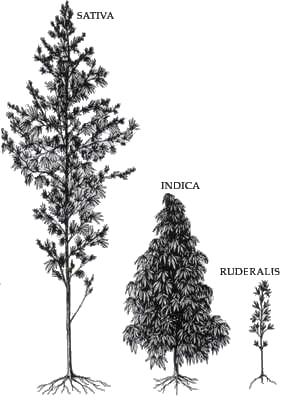 L'aspetto delle tre sottospecie della Canapa.