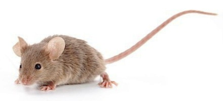 Il topolino domestico.