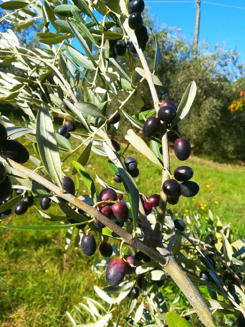 Olive su ramo