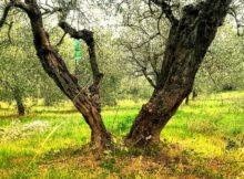 Uno degli olivi da raccogliere. L'abbacchiatore può essere molto utile.