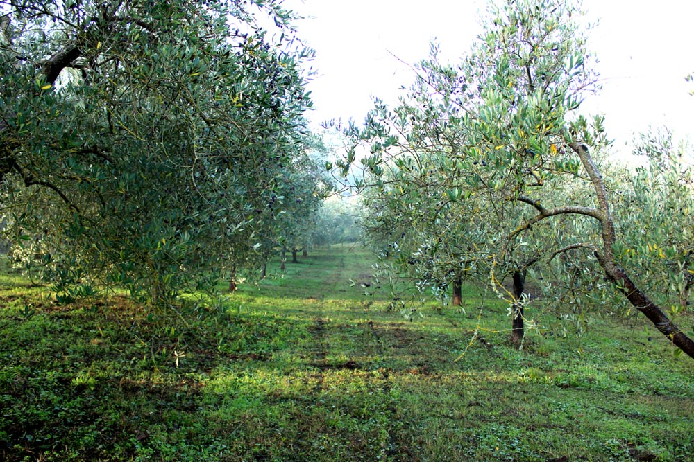 Camminare fra i filari dell'oliveto.